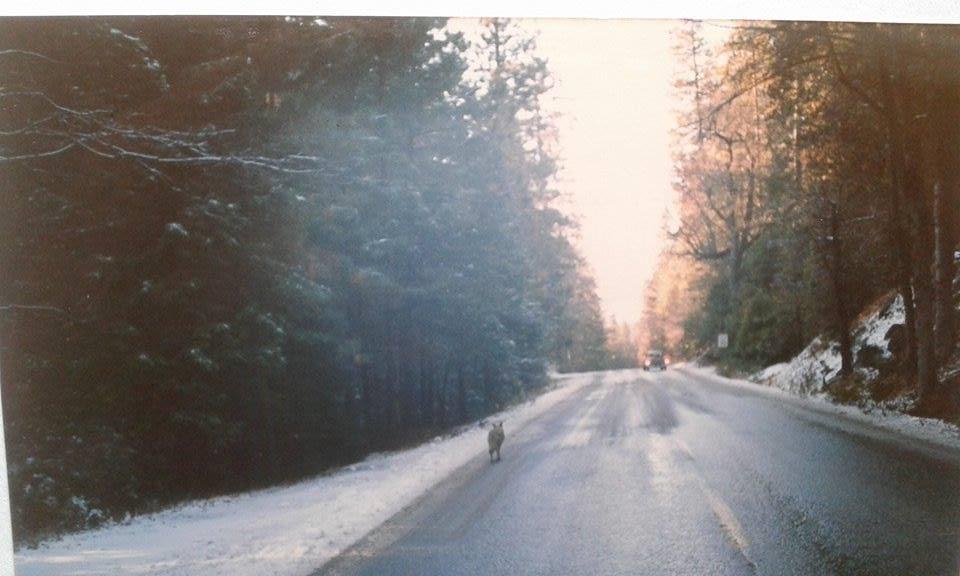 Wőlfe im Yosemite 1986