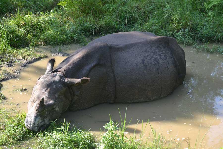 nashörner-nepal