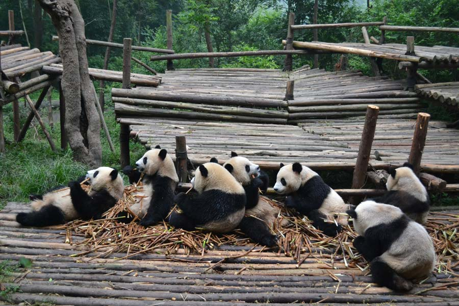 chengdu-china-panda-center
