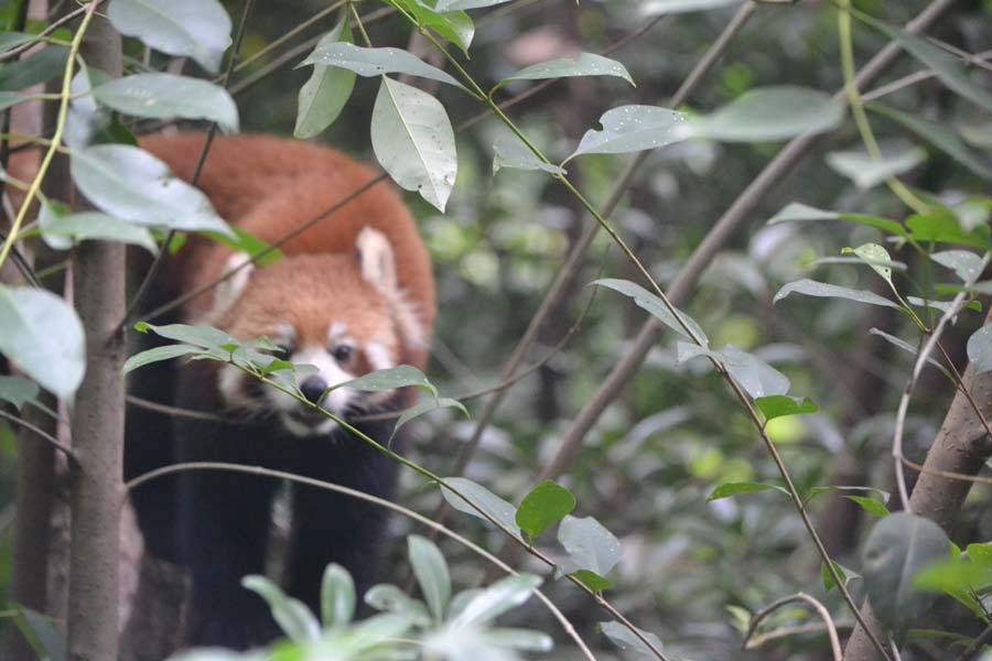 chengdu-china-panda-roter-pandas