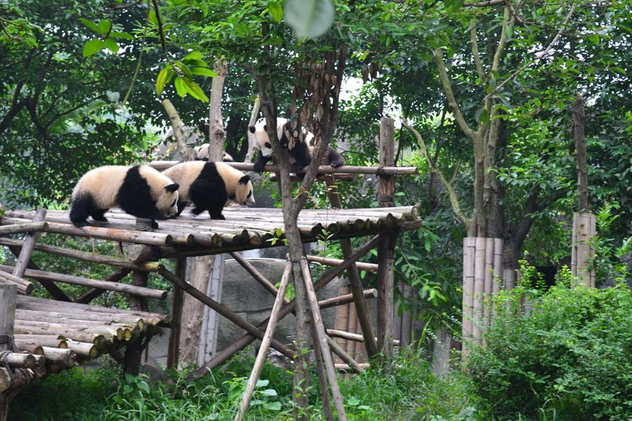 chengdu-china-pandas
