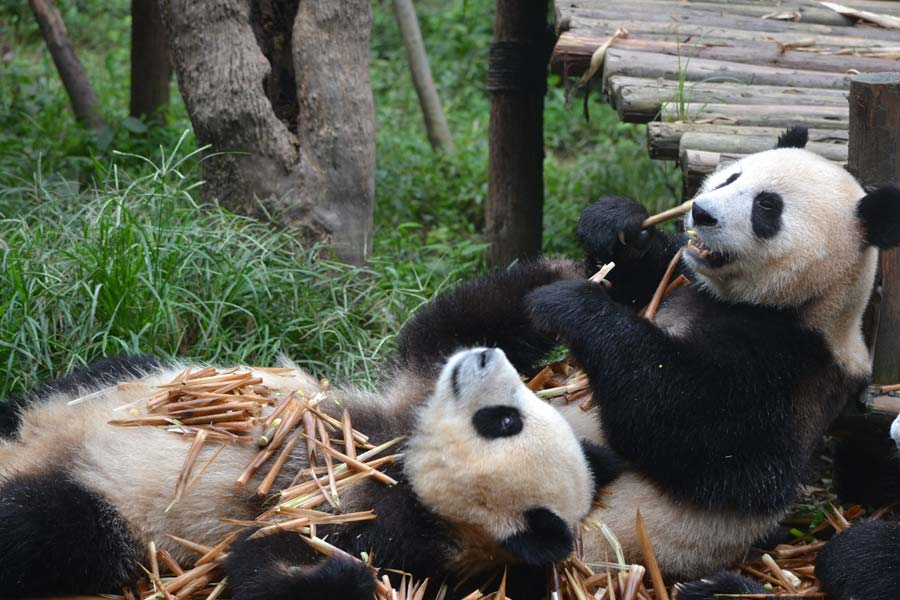 chengdu-panda-essen-pandas