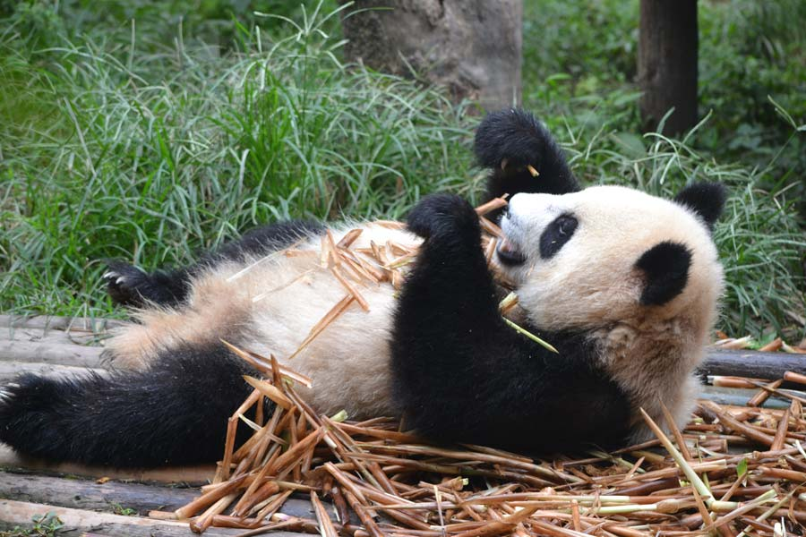panda-chengdu-china