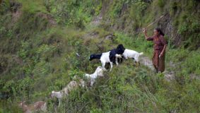 nagarkot-nepal-dorf-ziegen-frau-berg