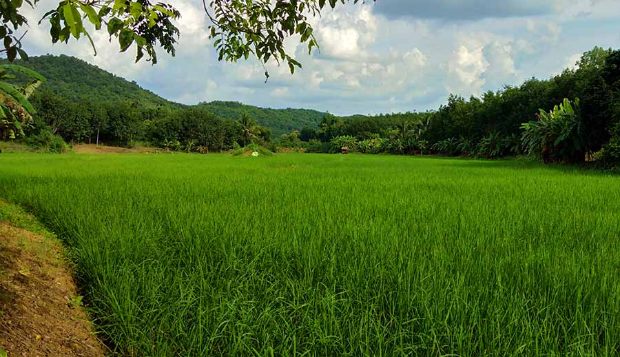 loei-reisfelder-norden-isaan-roadtrip-thailand